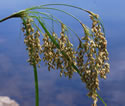 [photo of spikelet cluster]