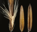[close-up of mature florets and grain]