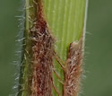 [photo of stem sheath and ligule]