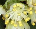 [photo of male flowers]