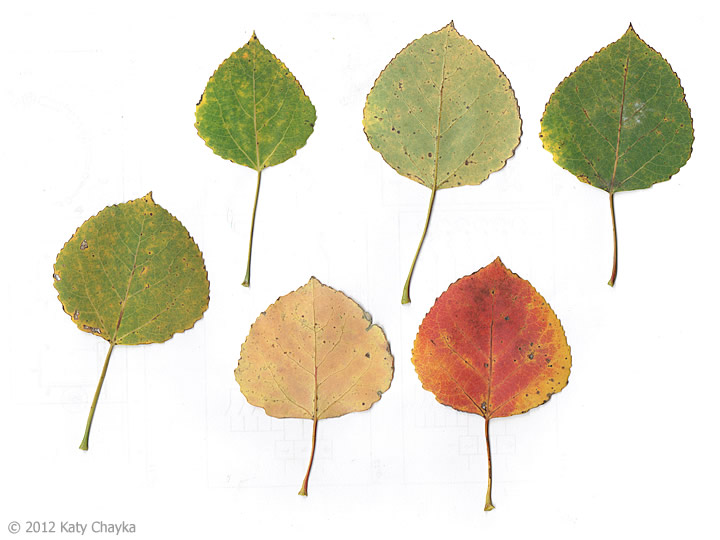 a project describing budburst and aspen leaf Popclock is a citizen science project to understand forest responses to rapidly changing climate and quaking aspen project budburst.